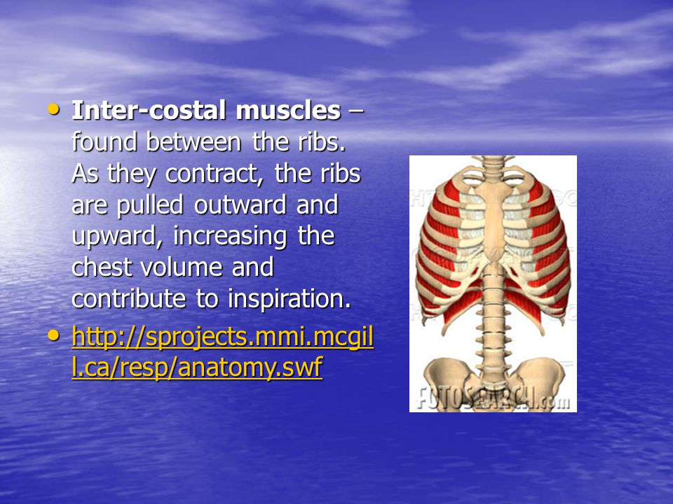 Inter-costal muscles – found between the ribs