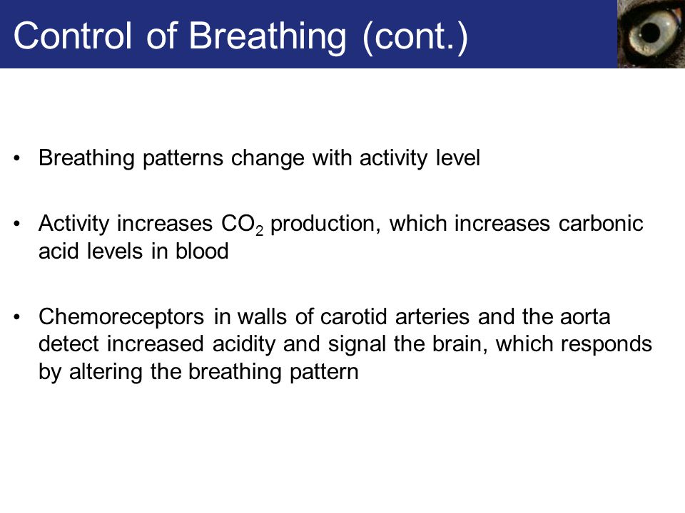 Control of Breathing (cont.)