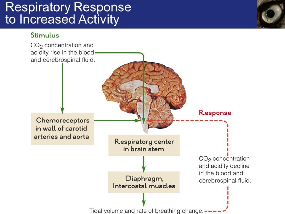 Respiratory Response to Increased Activity