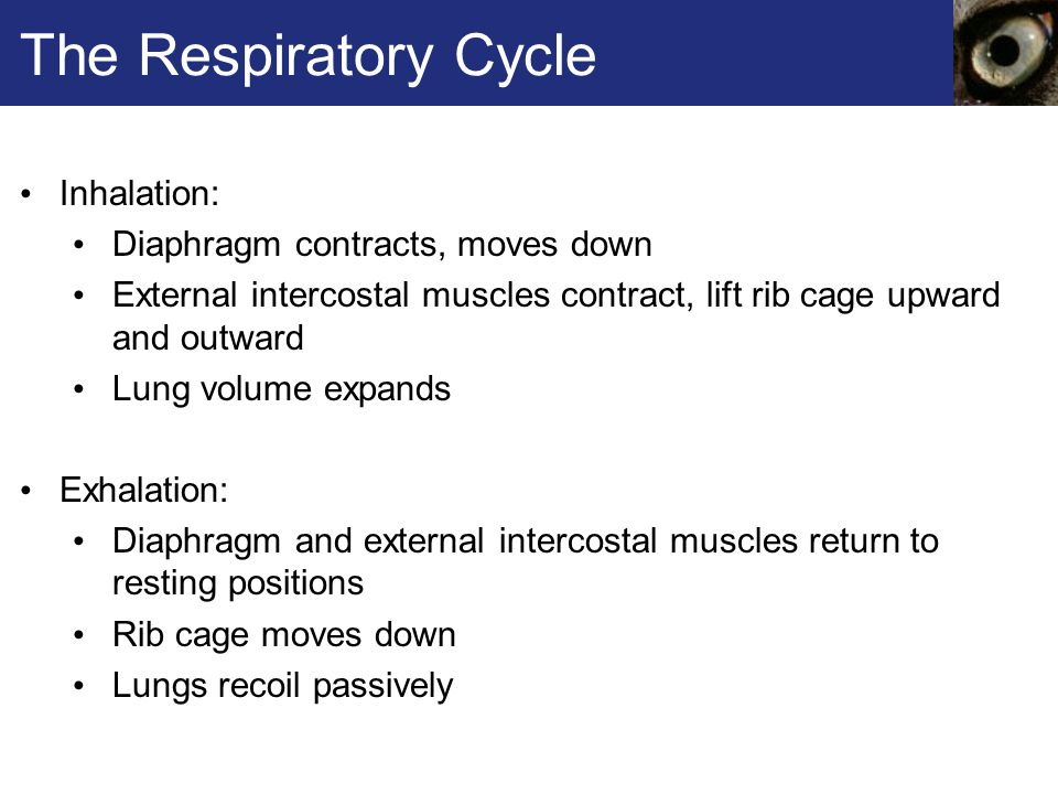 The Respiratory Cycle Inhalation: Diaphragm contracts, moves down