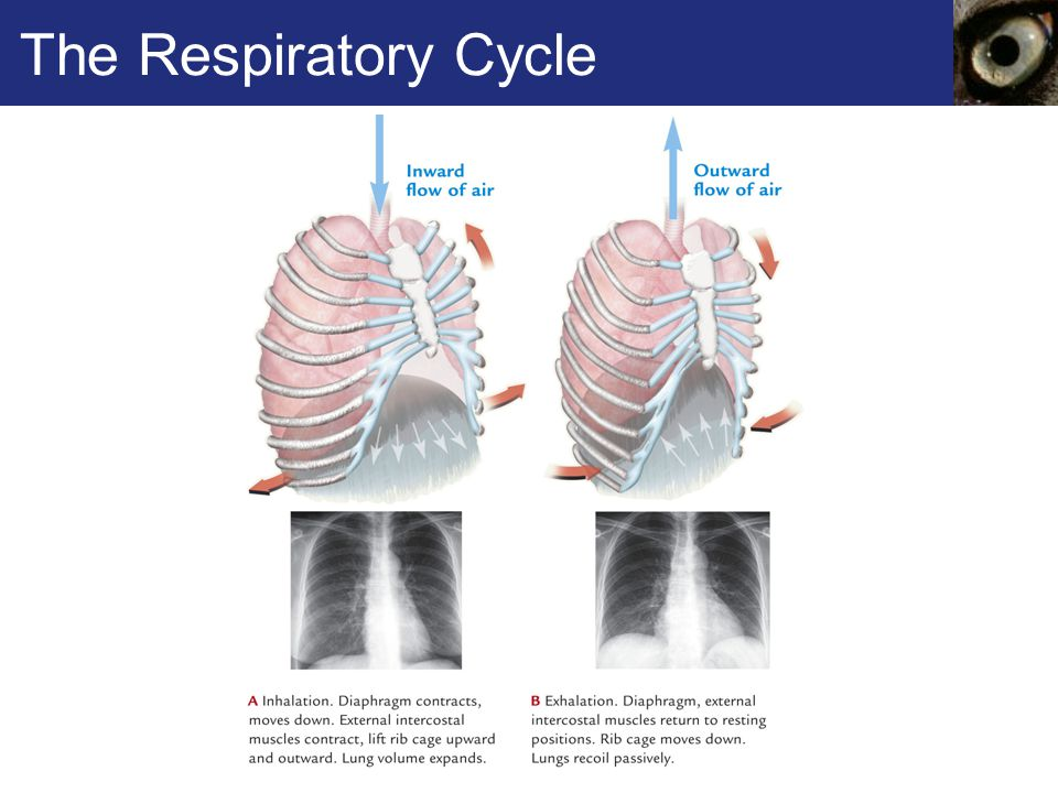 The Respiratory Cycle