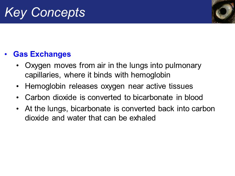 Key Concepts Gas Exchanges