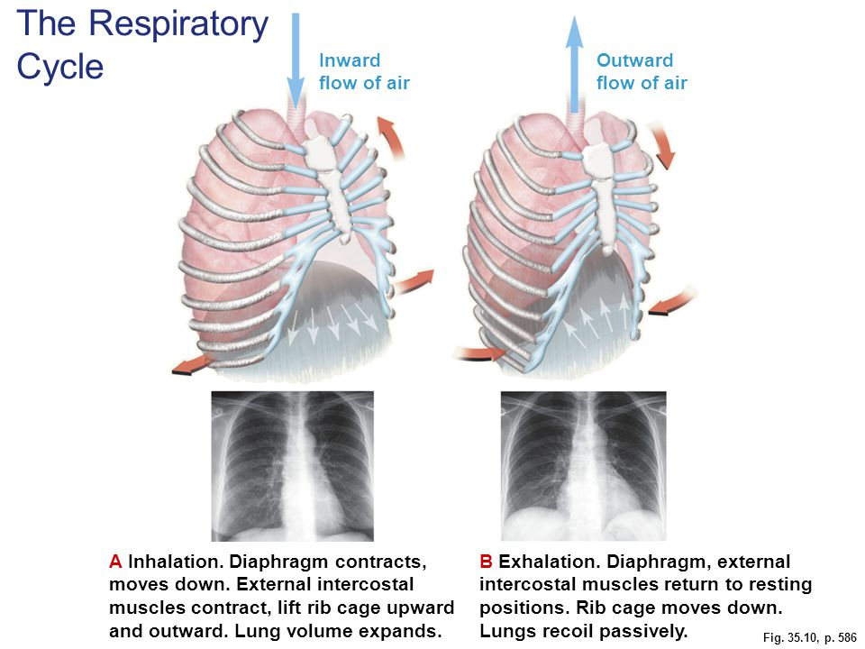 The Respiratory Cycle Inward flow of air Outward flow of air