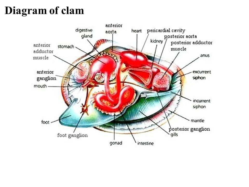 Diagram of clam