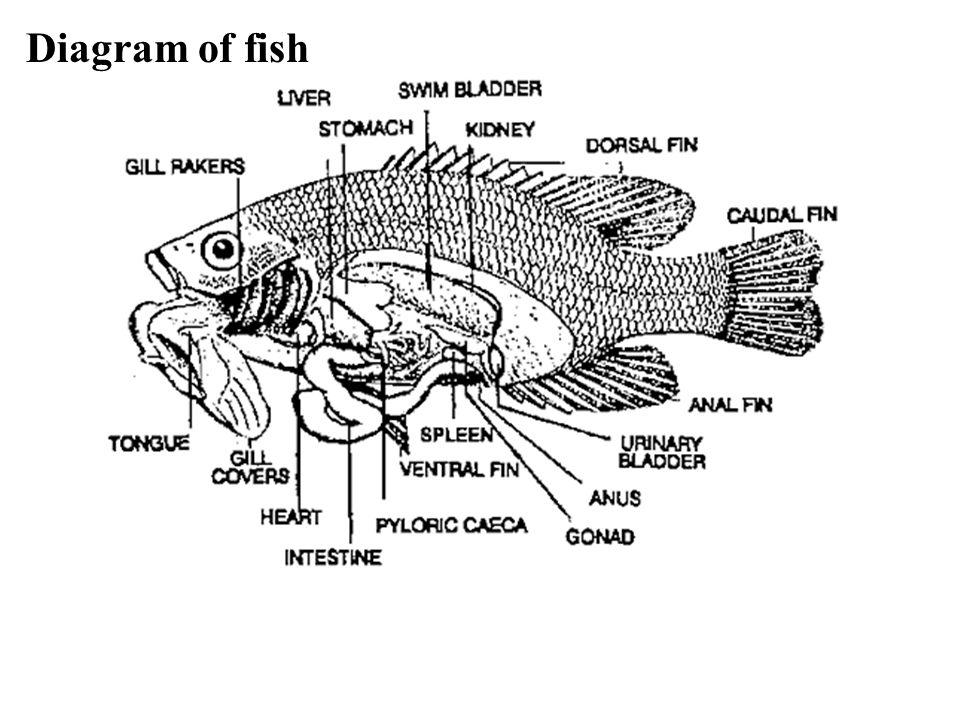 Diagram of fish