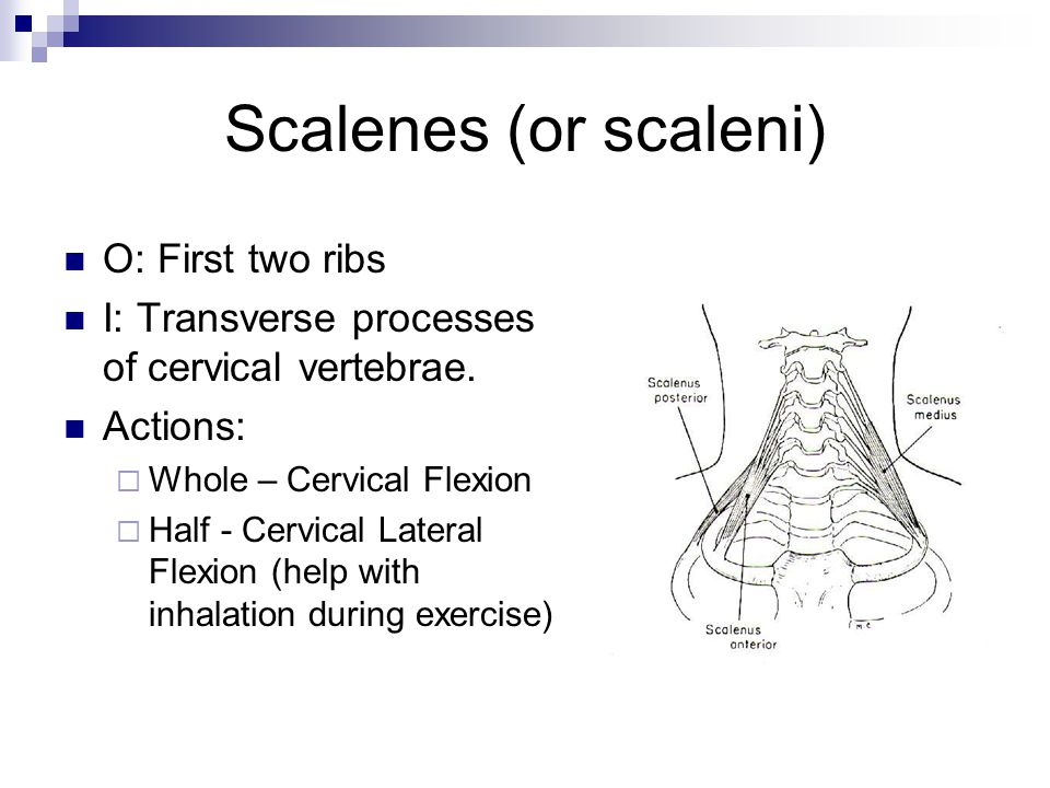 Scalenes (or scaleni) O: First two ribs