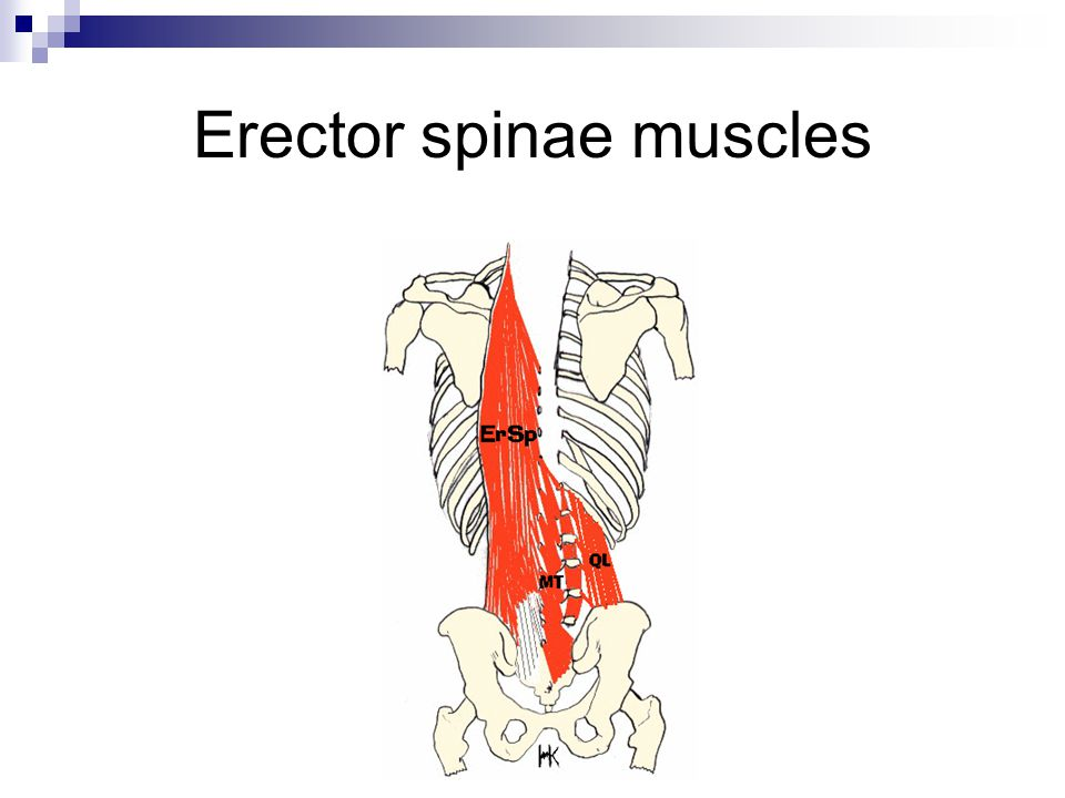 Erector spinae muscles