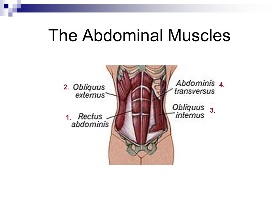 The Abdominal Muscles 4. 2. 3. 1.