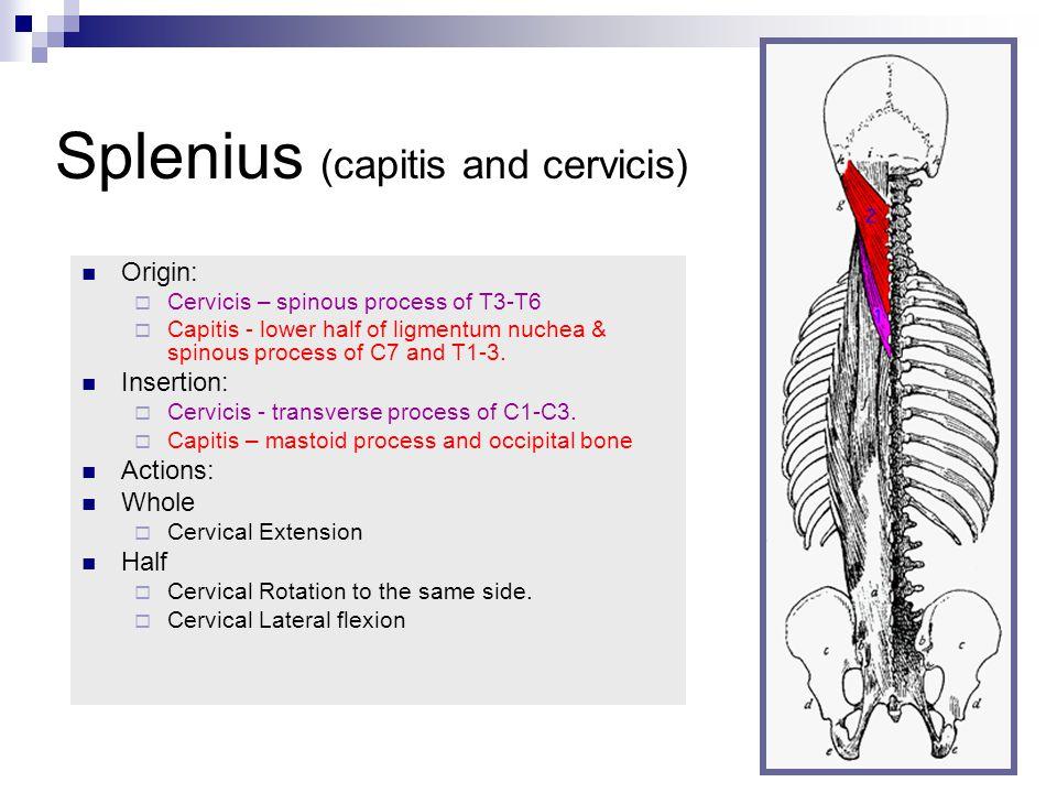 Splenius (capitis and cervicis)