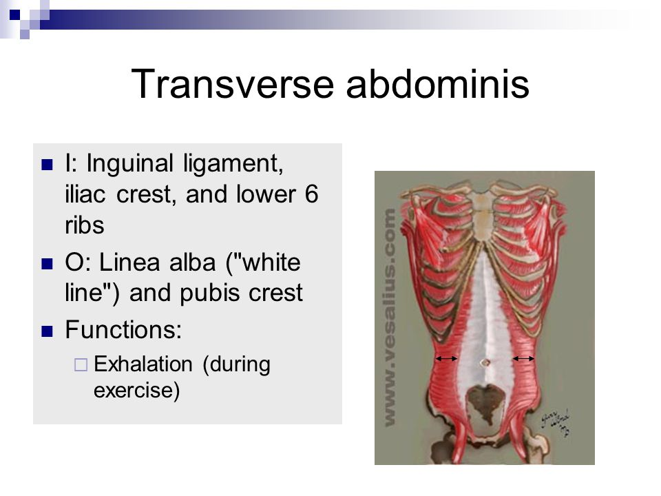 Transverse abdominis I: Inguinal ligament, iliac crest, and lower 6 ribs. O: Linea alba ( white line ) and pubis crest.