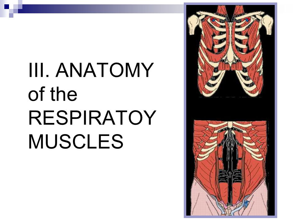 III. ANATOMY of the RESPIRATOY MUSCLES