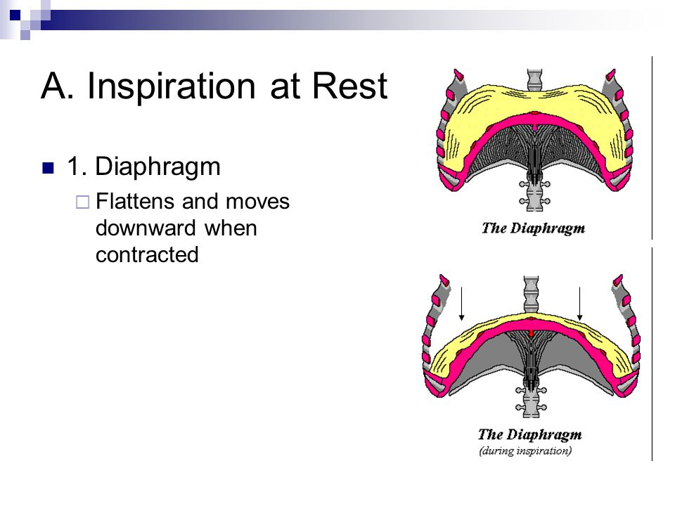 A. Inspiration at Rest 1. Diaphragm