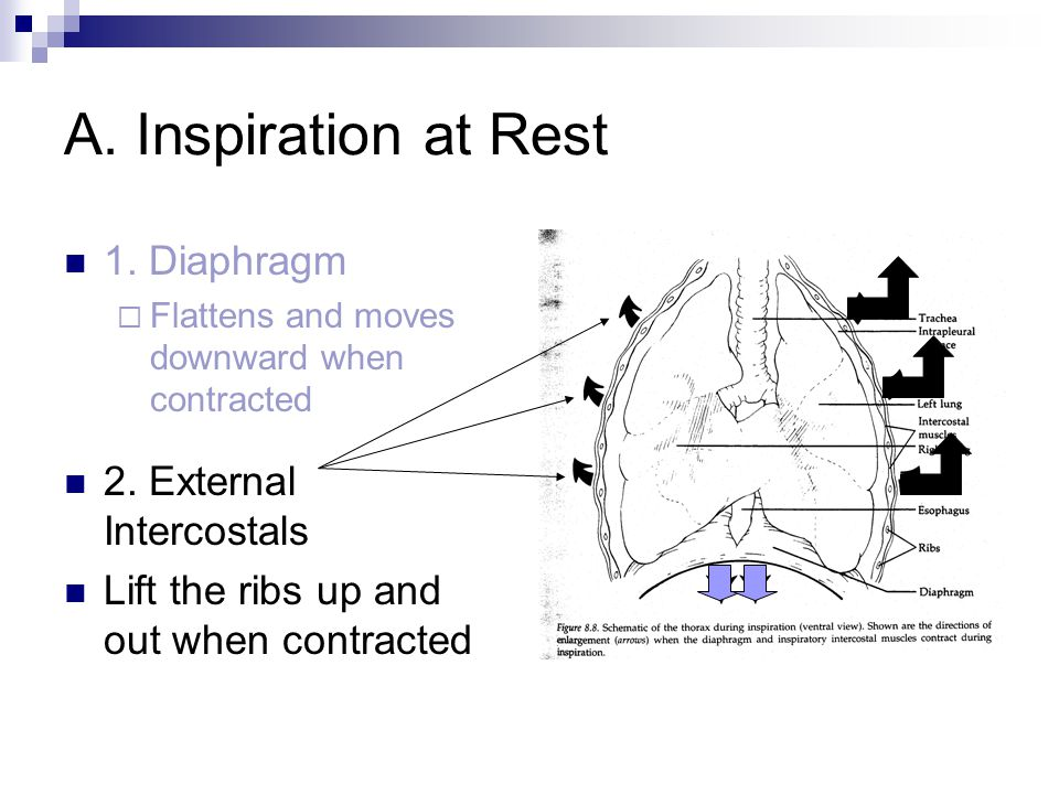 A. Inspiration at Rest 1. Diaphragm 2. External Intercostals