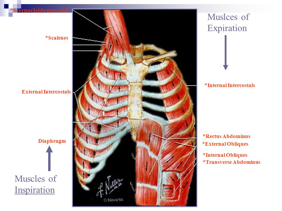 Muslces of Expiration Muscles of Inspiration *Sternocleidomastoid