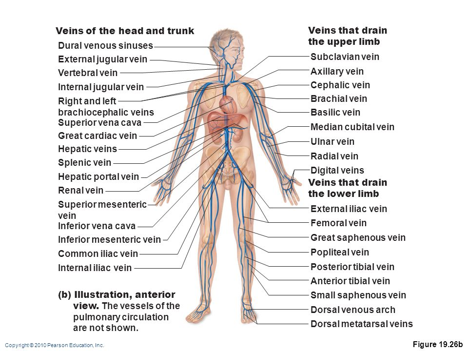 Veins of the head and trunk Veins that drain the upper limb