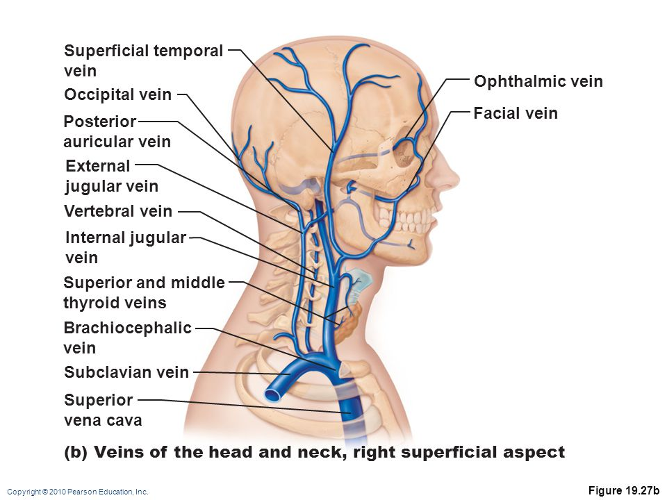(b) Veins of the head and neck, right superficial aspect