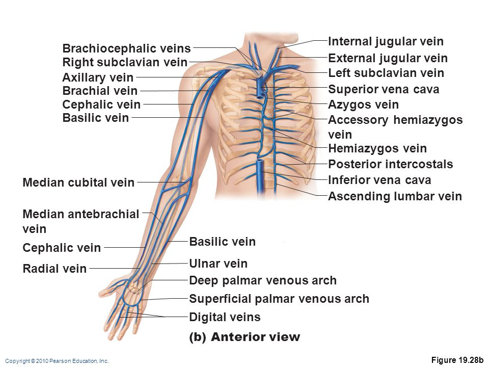 the cardiovascular system: blood vessels: part c - ppt video, Cephalic Vein