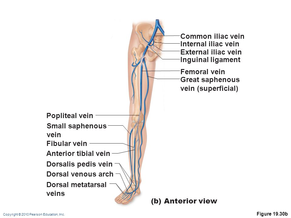 Common iliac vein Internal iliac vein External iliac vein