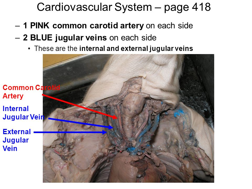 Cardiovascular System – page 418