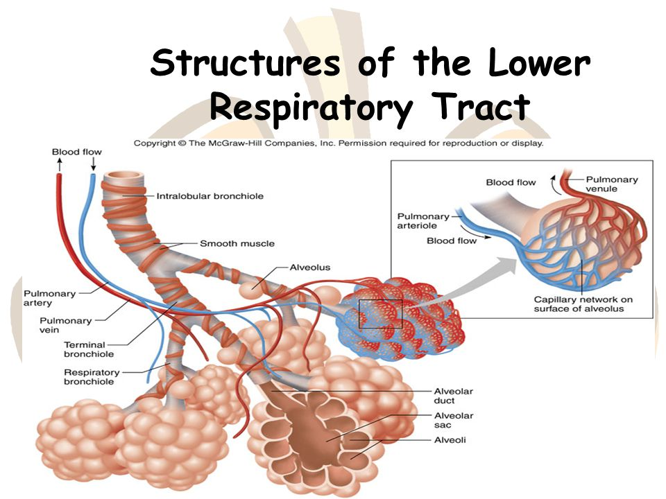 Lower respiratory anatomy