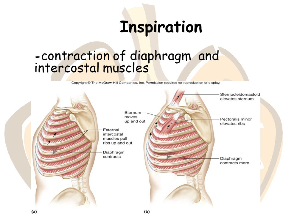 Inspiration -contraction of diaphragm and intercostal muscles