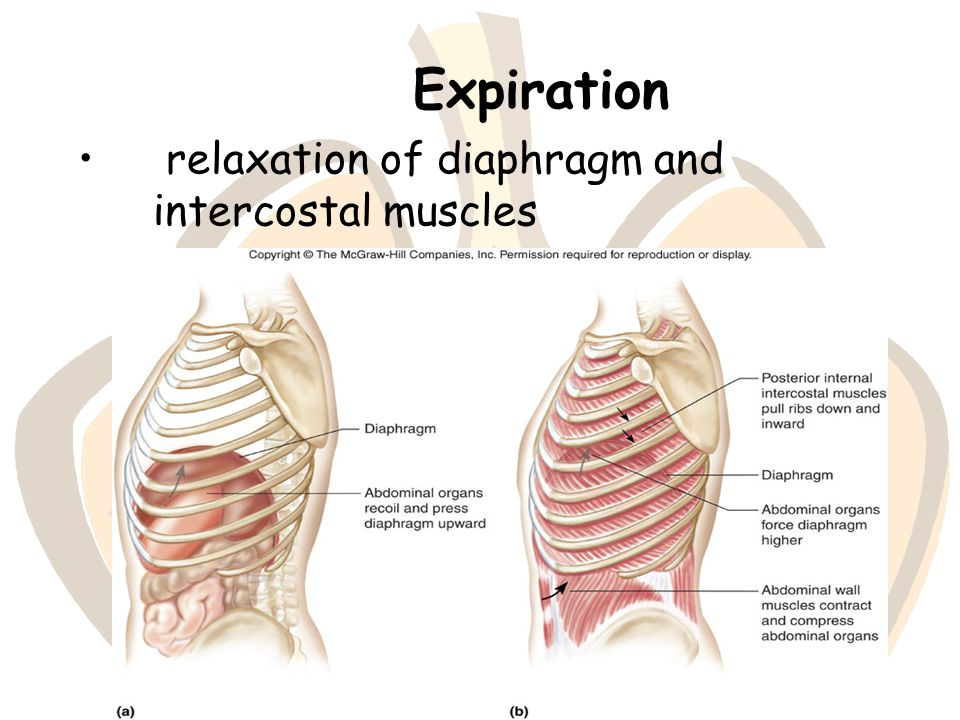 Expiration relaxation of diaphragm and intercostal muscles