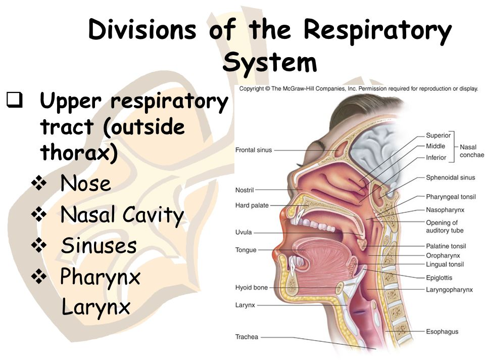 Anatomy and physiology of respiratory system Homework Help