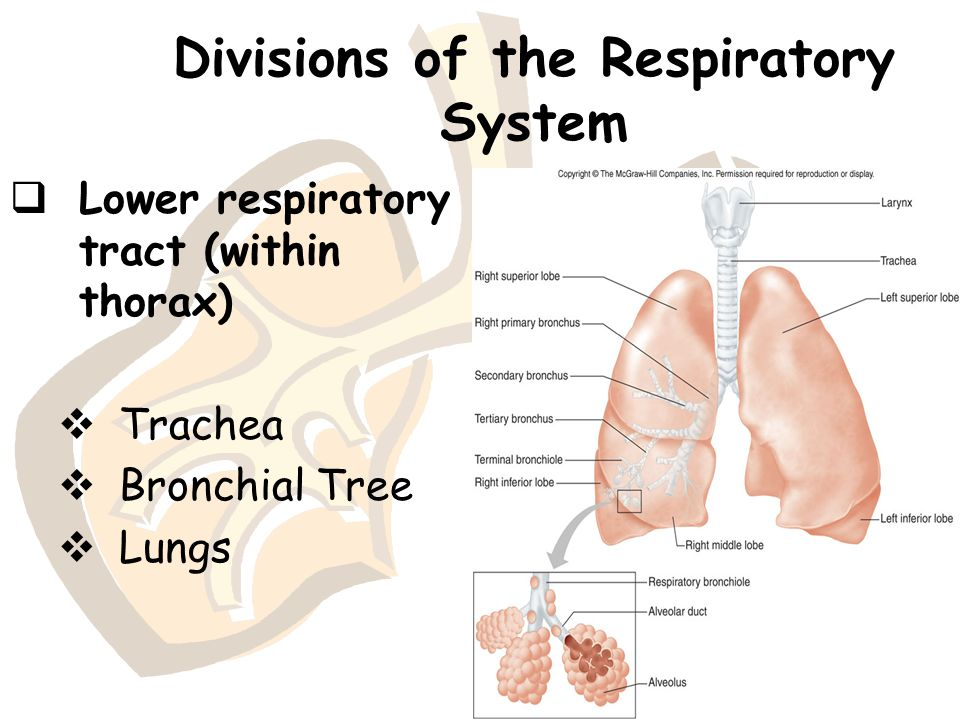 Divisions of the Respiratory System