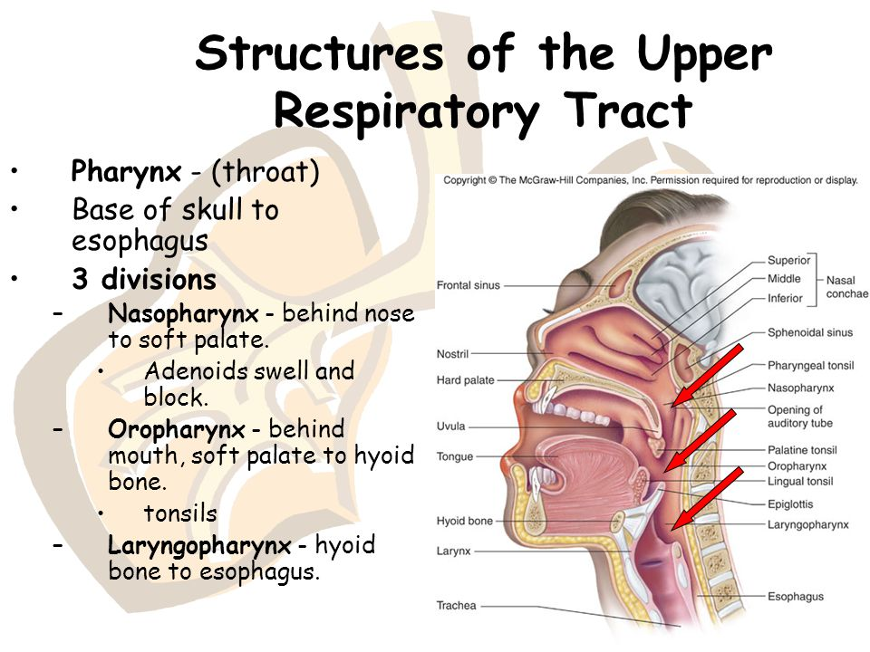 Structures of the Upper Respiratory Tract