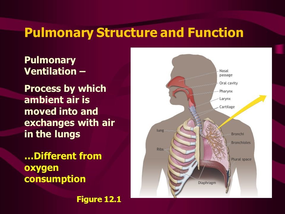 Lung Ventilation System : Pulmonary ventilation ppt video online download