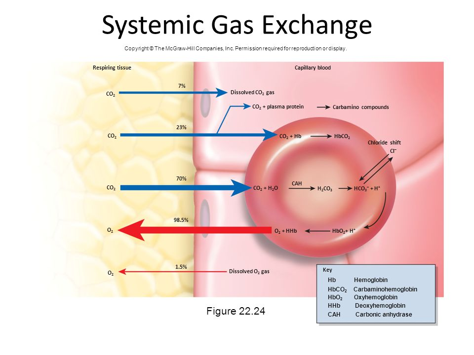 Systemic Gas Exchange Figure 22.24 Respiring tissue Capillary blood 7%