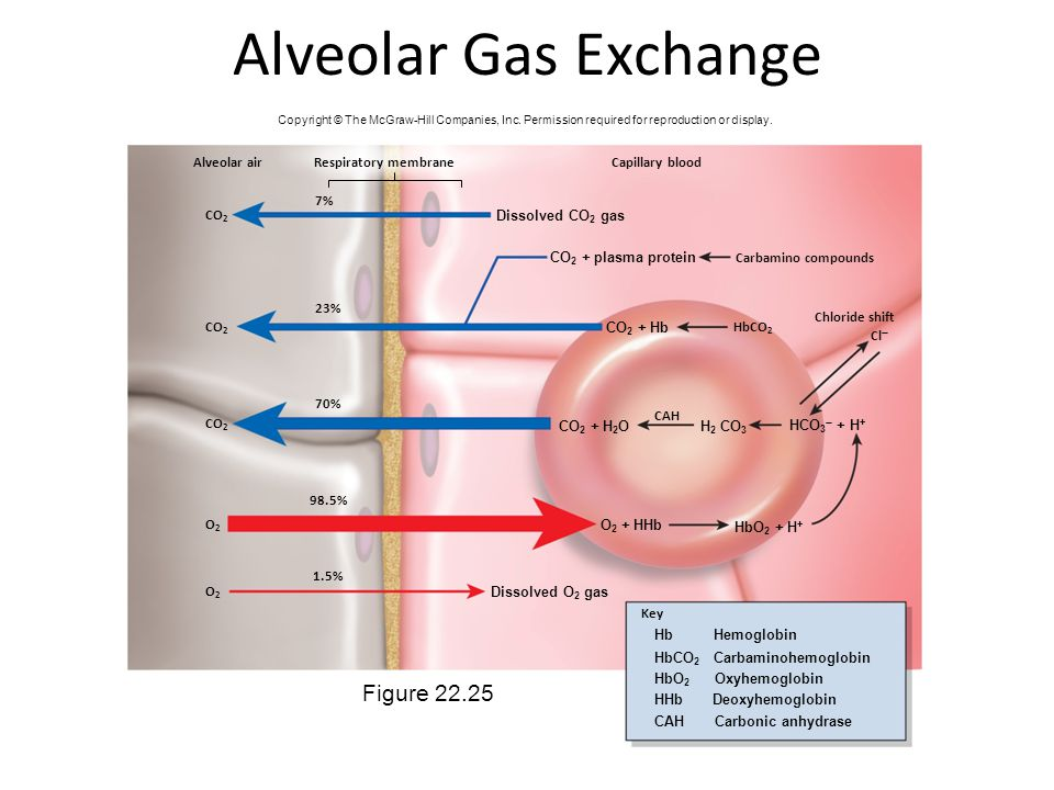 Alveolar Gas Exchange Figure 22.25 Alveolar air Respiratory membrane