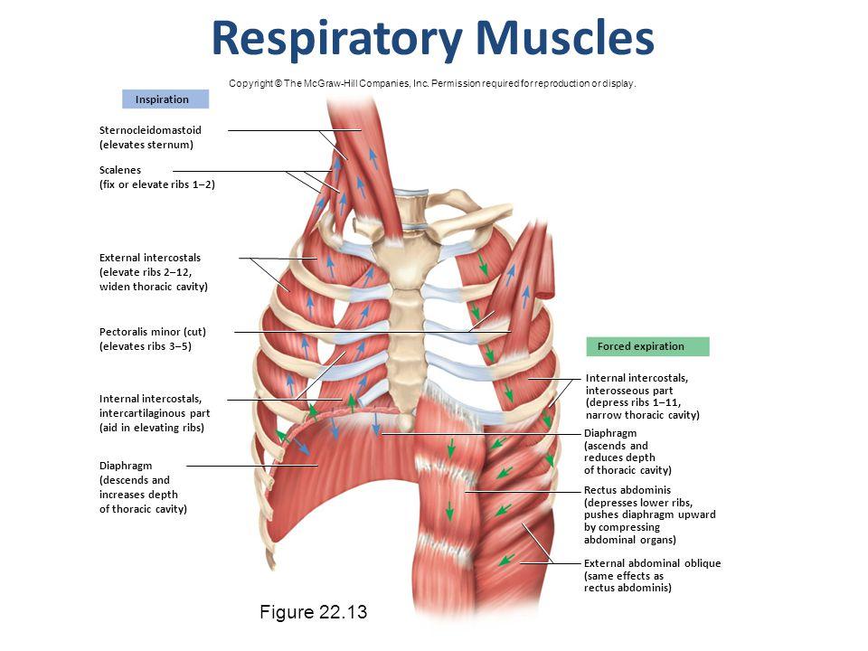 Respiratory Muscles Figure 22.13 Inspiration Sternocleidomastoid