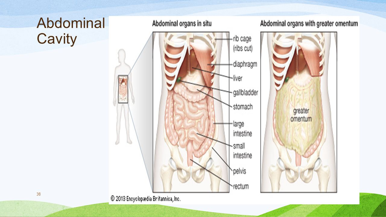 Abdomen Muscles Organs Function Conditions Exercises also Abdominal Muscle Anatomy Diagram in addition 6374071 together with Human Breathing Mechanism 1 Ppt also Circulatory Pathways. on thoracic body cavity