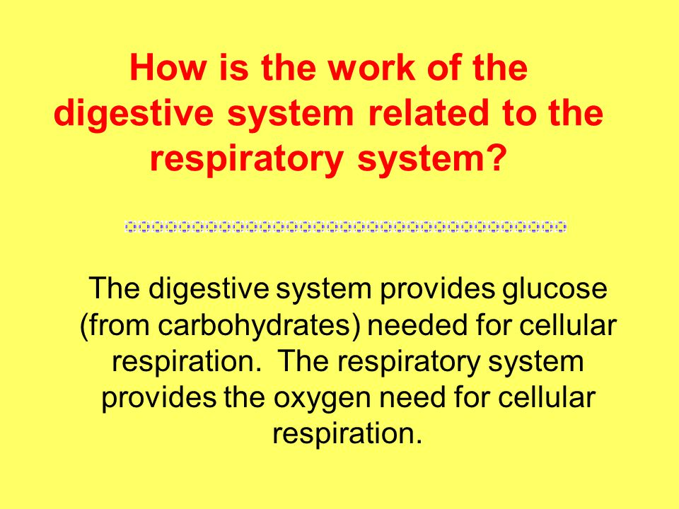 How is the work of the digestive system related to the respiratory system