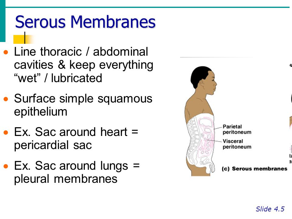 Serous Membranes Line thoracic / abdominal cavities & keep everything wet / lubricated. Surface simple squamous epithelium.