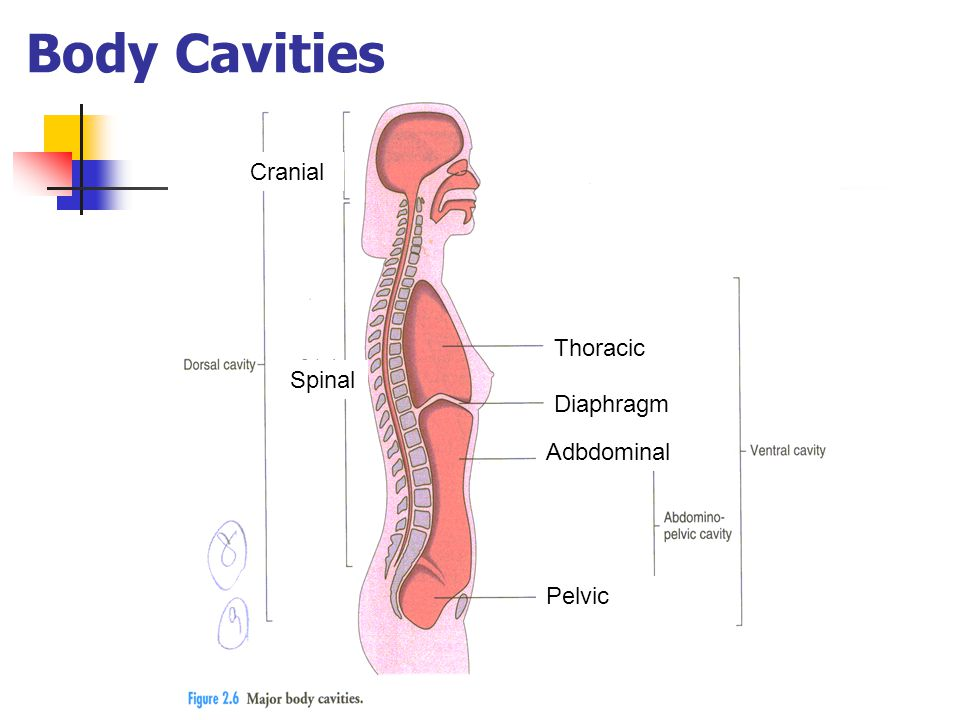 Body Cavities Cranial Thoracic Spinal Diaphragm Adbdominal Pelvic