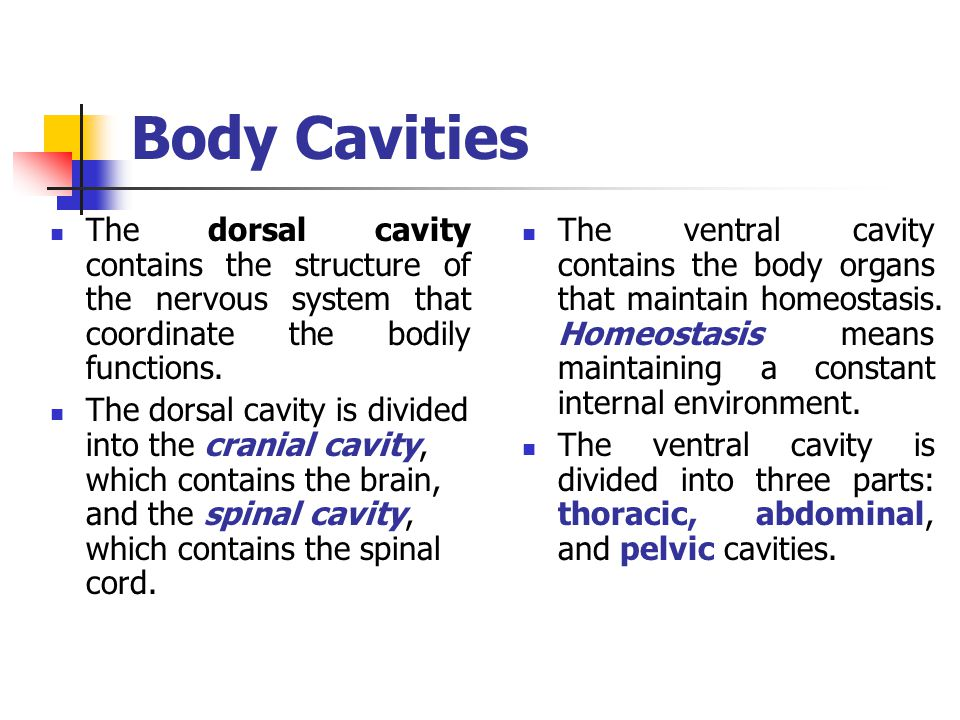 Body Cavities The dorsal cavity contains the structure of the nervous system that coordinate the bodily functions.