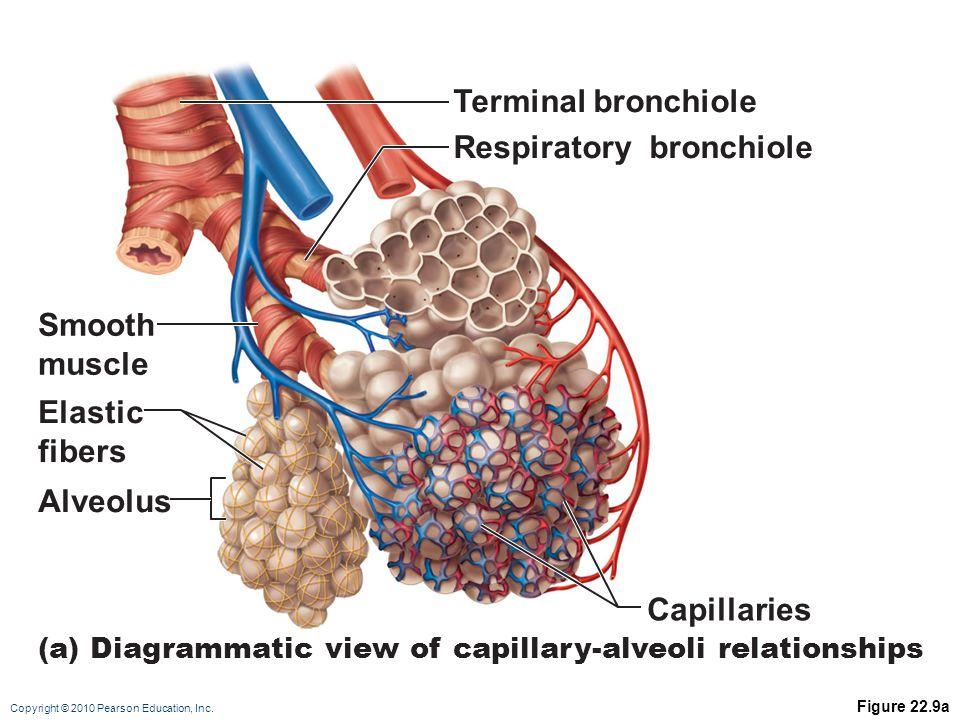 Respiratory bronchiole