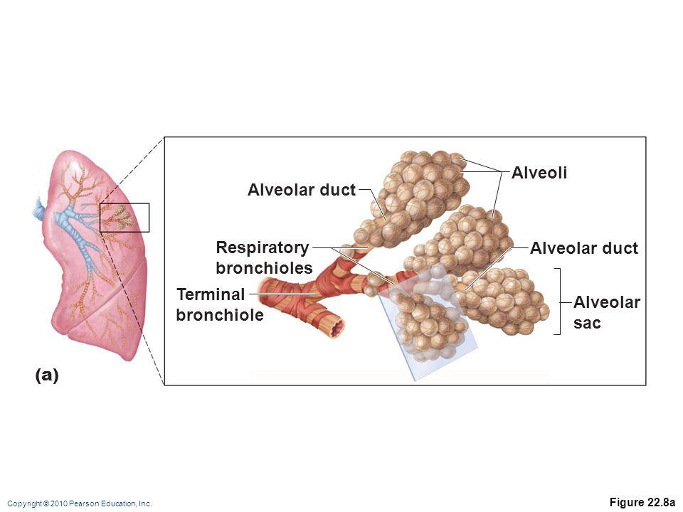 Alveoli Alveolar duct Respiratory Alveolar duct bronchioles Terminal