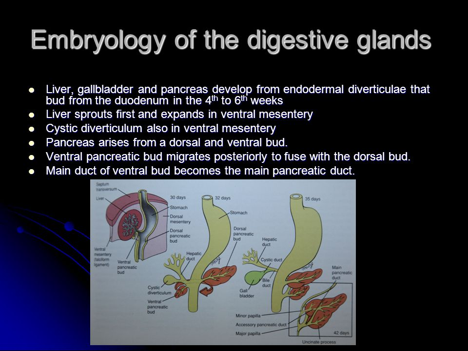 Embryology of the digestive glands