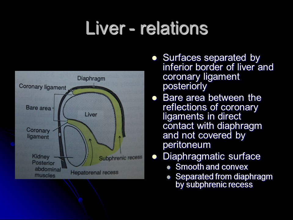 Liver - relations Surfaces separated by inferior border of liver and coronary ligament posteriorly.
