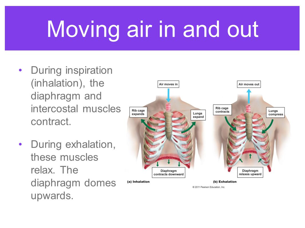 Moving air in and out During inspiration (inhalation), the diaphragm and intercostal muscles contract.