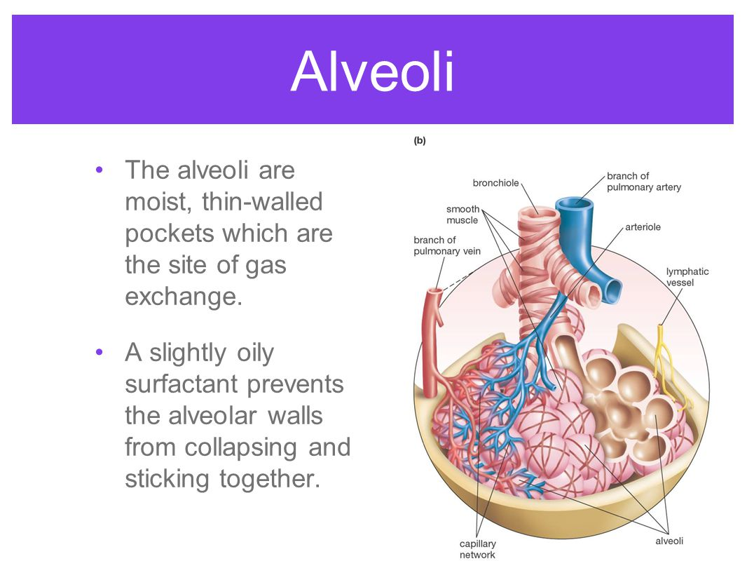 Alveoli The alveoli are moist, thin-walled pockets which are the site of gas exchange.