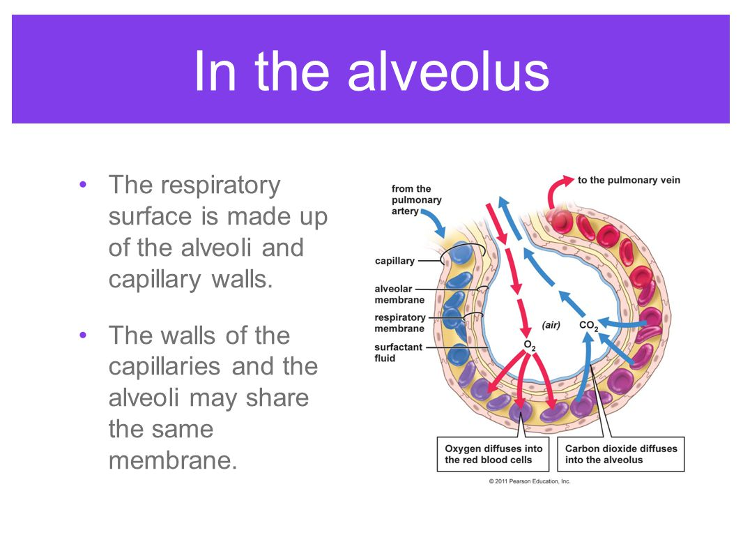 In the alveolus The respiratory surface is made up of the alveoli and capillary walls.