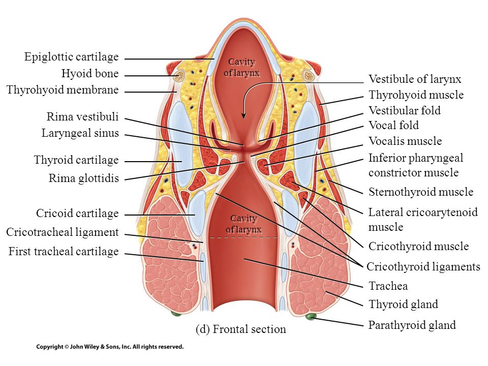 Lateral cricoarytenoid muscle Cricotracheal ligament