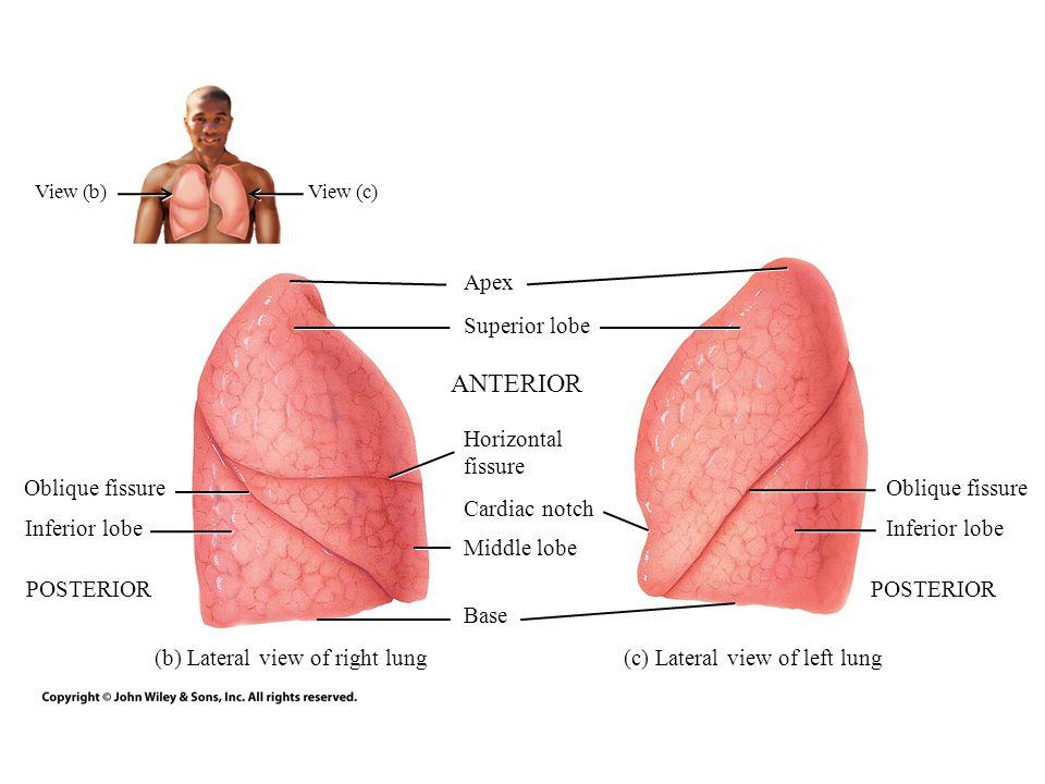 ANTERIOR Apex Superior lobe Horizontal fissure Oblique fissure
