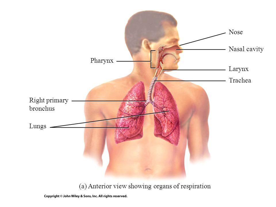 Nose Nasal cavity. Pharynx. Larynx. Trachea.