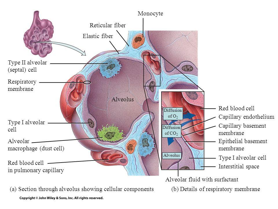 alveolar basement membrane