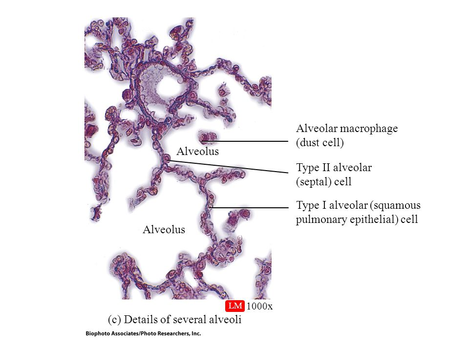 Type I alveolar (squamous pulmonary epithelial) cell